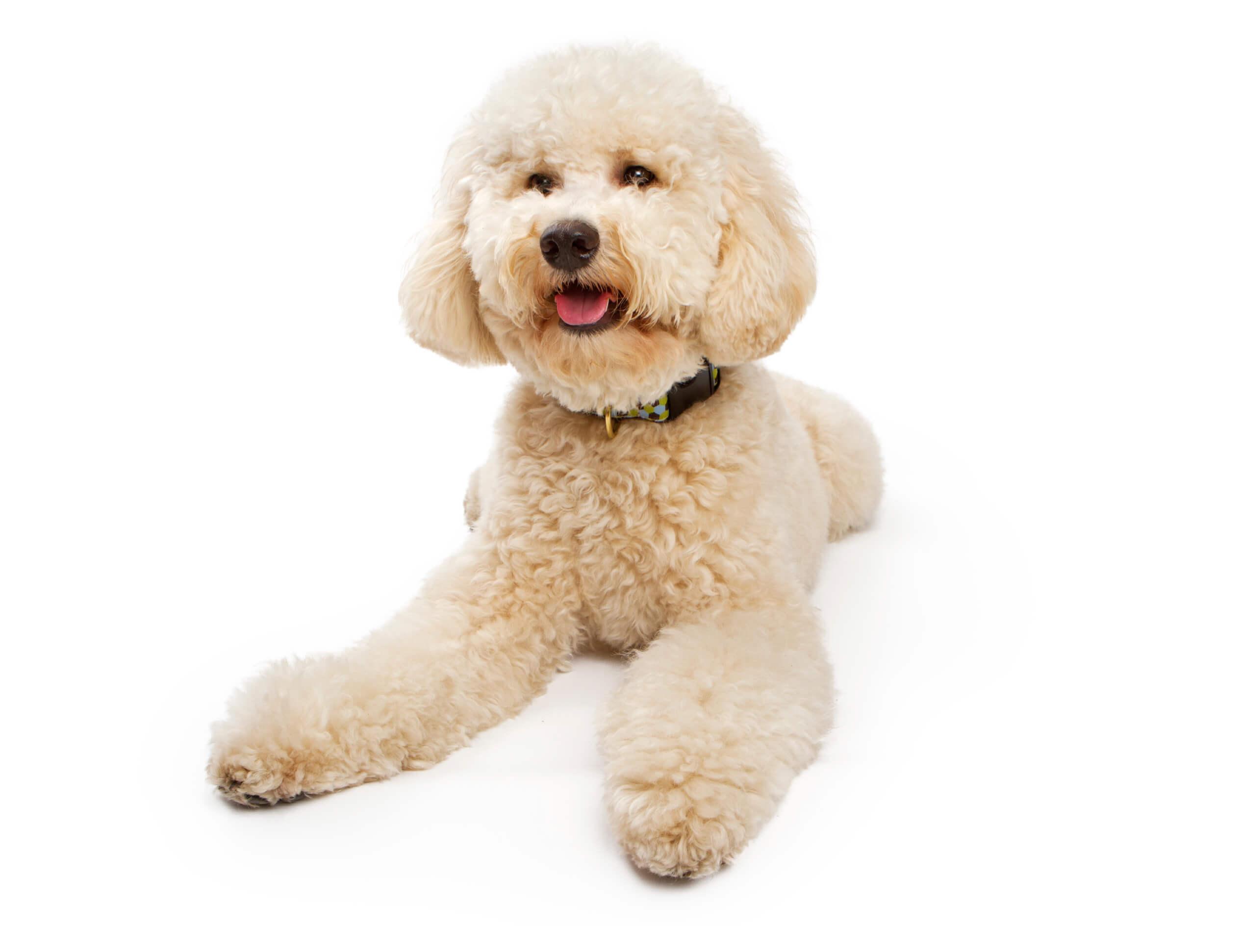 Oodles Of Doodles Pooch Dog Spa News