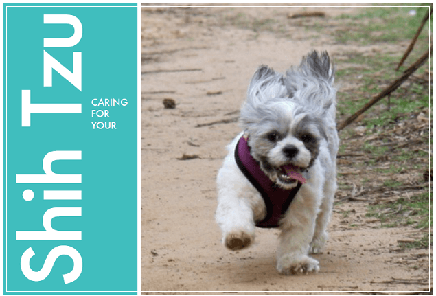 How To Care For Your Shih Tzu Pooch Dog Spa News