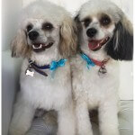 Chinese Crested Power Puff grooming at pooch Dog Spa