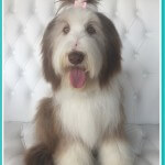 Bearded Collie grooming at pooch Dog Spa