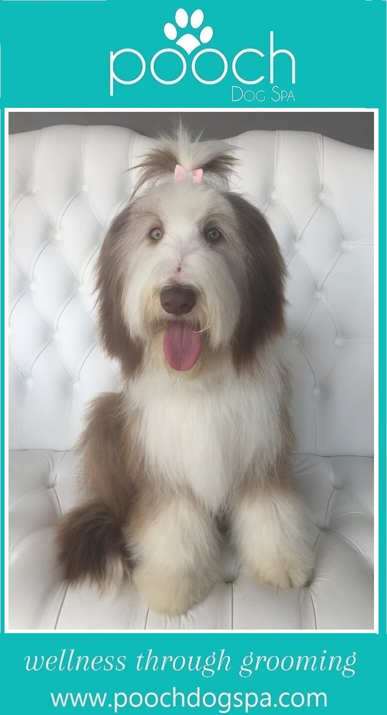 bearded-collie-grooming.jpeg