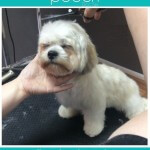 Very relaxed hair styling at pooch Dog Spa