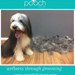 De-shedding treatment at pooch Dog Spa