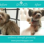 Terrier grooming at pooch Dog Spa
