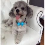 Bichon Poo grooming at pooch Dog Spa