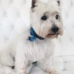 West Highland Terrier grooming at pooch Dog Spa
