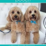 Cavapoo grooming at pooch Dog Spa