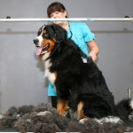 Bernese Mountain Dog grooming