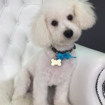 Bichon Frise grooming at pooch Dog Spa