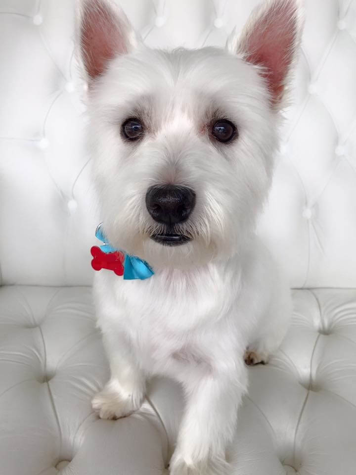 Westie Grooming Pooch Dog Spa