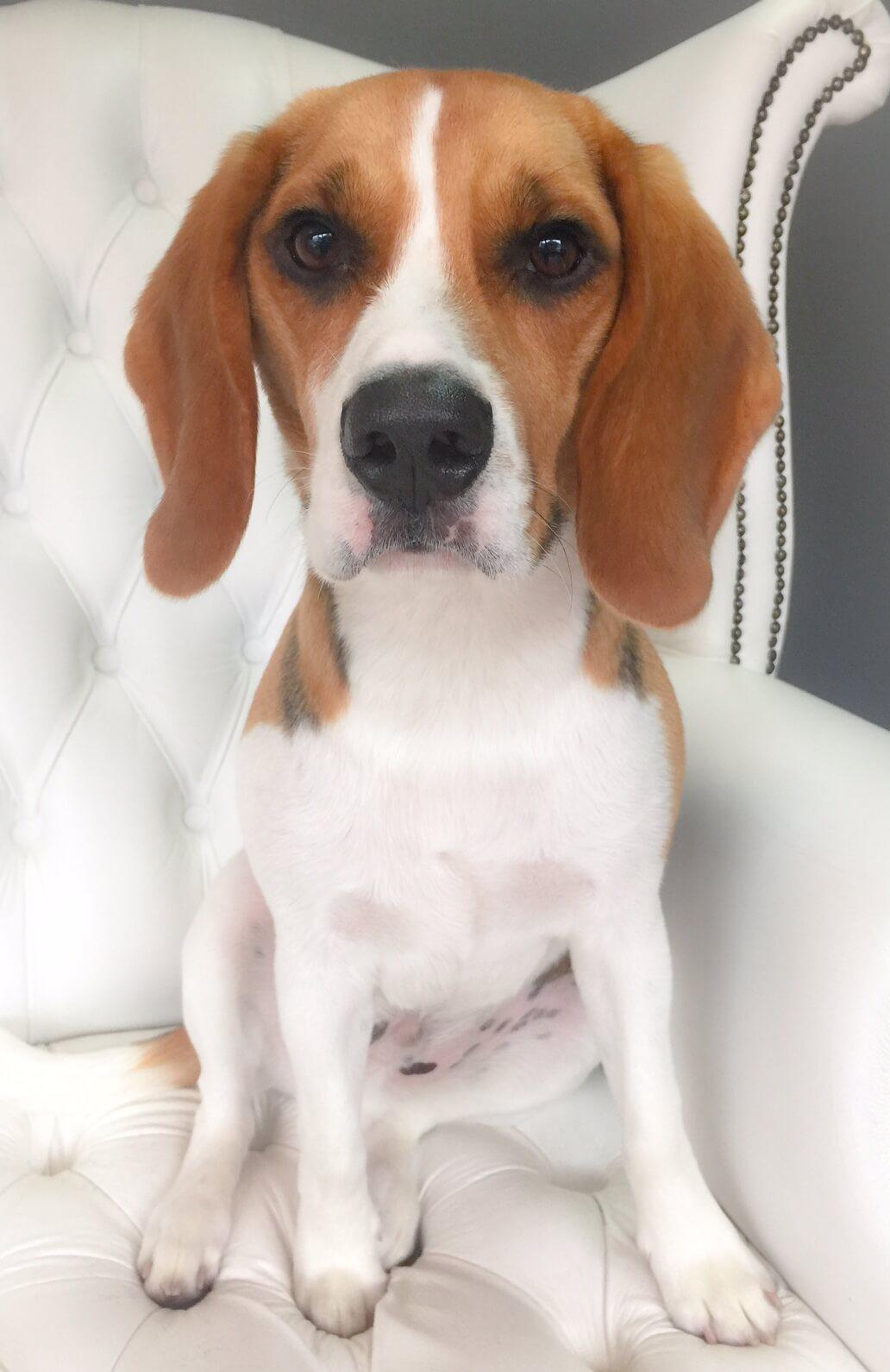 Beagle-grooming