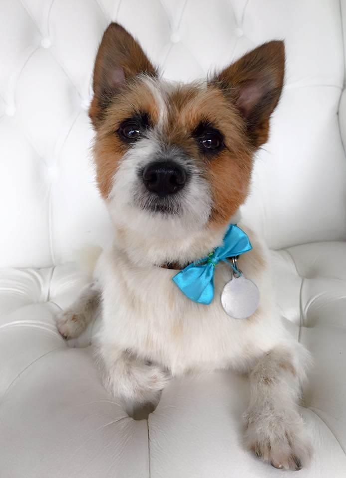 Terrier-grooming