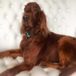 Irish Setter grooming at pooch Dog Spa