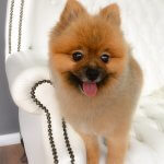 Pomeranian grooming at pooch Dog Spa