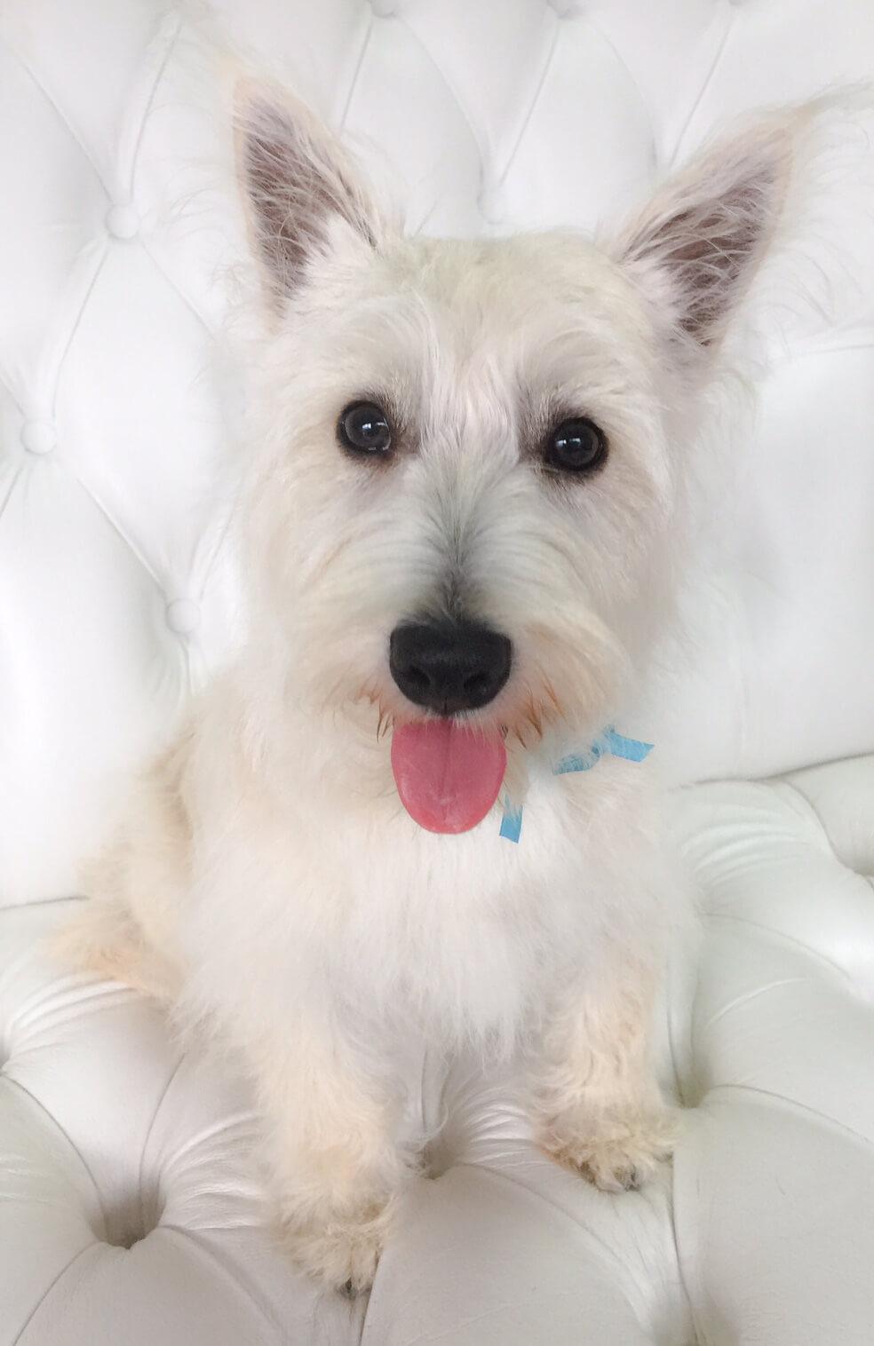 West-Highland-Terrier-grooming.jpeg