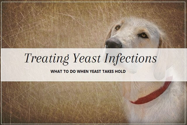 Dog yeast infection