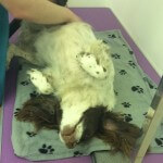 Super relaxed hair styling at pooch Dog Spa