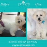 Bichon grooming at pooch Dog Spa