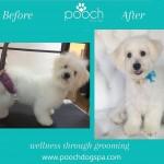 Bichon grooming at pooch Dog Spa