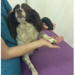Very relaxed hair drying at pooch Dog Spa