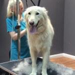 De-shedding at pooch Dog Spa