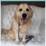 Golden Retriver grooming at pooch Dog Spa