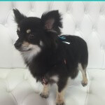 Pomeranian grooming at pooch Dog Spa