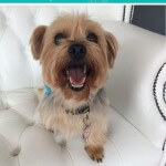 Yorkshire Terrier grooming at pooch Dog Spa