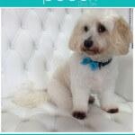 Cavashon grooming at pooch Dog Spa