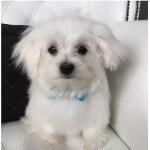 Maltese grooming at pooch Dog Spa