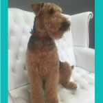 Airedale Terrier grooming at pooch Dog Spa