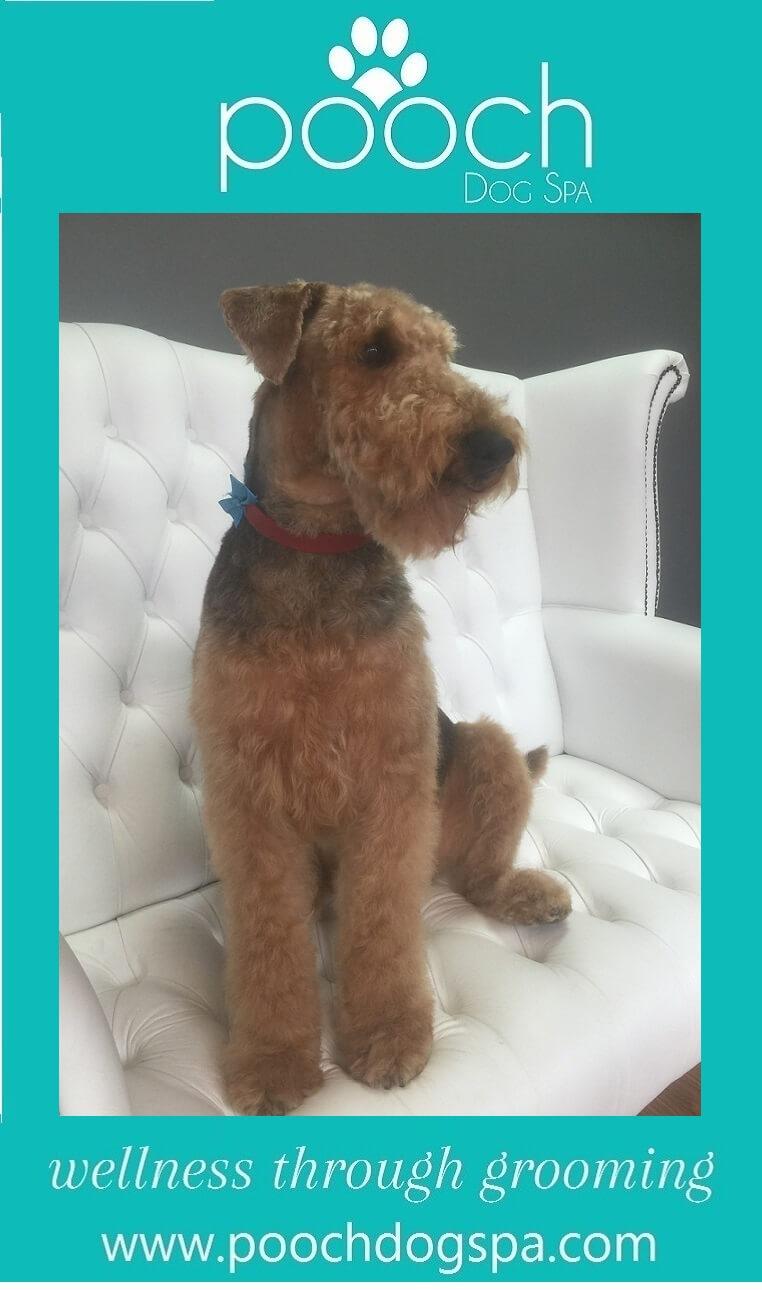 Airedale-Terrier-grooming.jpeg