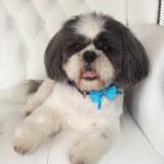 Shih Tzu grooming at pooch Dog Spa
