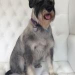 Schanuzer grooming at pooch Dog Spa