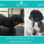 Shih Tzu grooming at pooch Dog Spa