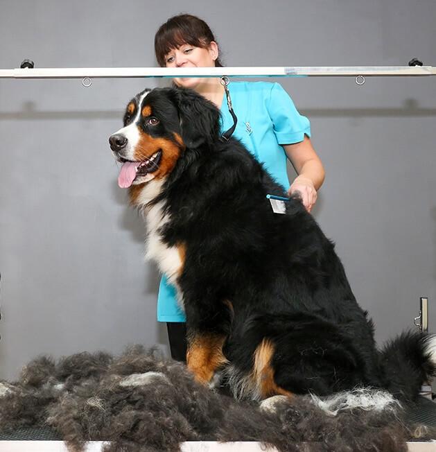 Bernese-mountain-dog.jpeg