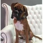 Boxer grooming at pooch Dog Spa