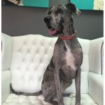 Great Dane grooming at pooch Dog Spa