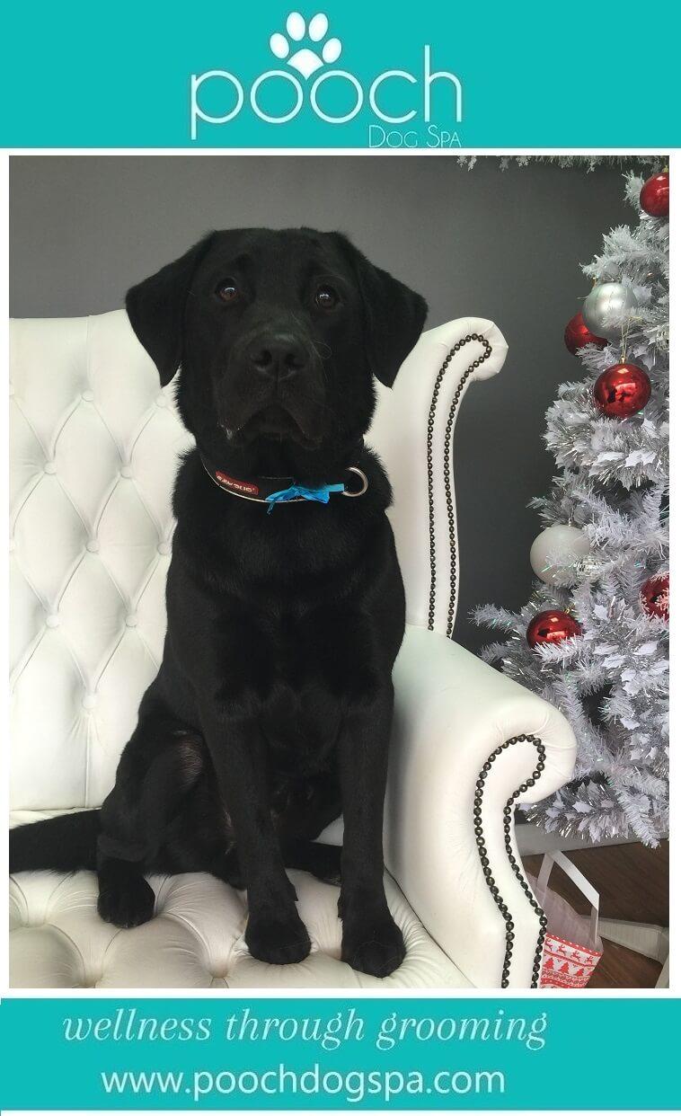 Labrador-grooming