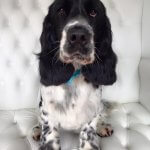 Spaniel grooming at pooch Dog Spa