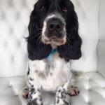 Spaniel grooming at pooch Dog Spa