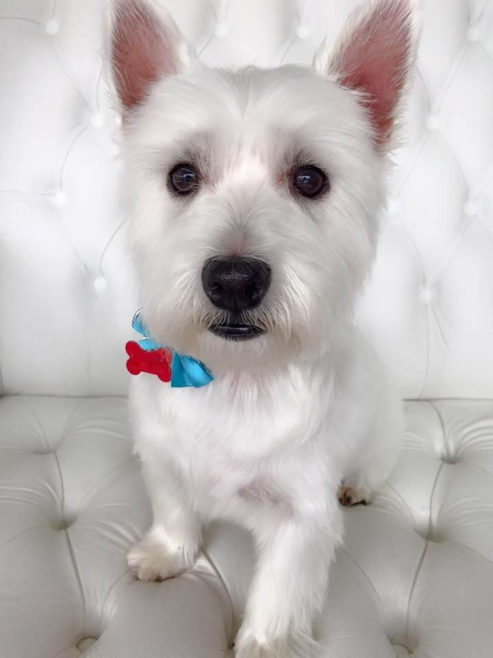 Westie-grooming