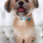 Shihpom grooming at pooch Dog Spa