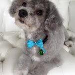Poochon grooming at pooch Dog Spa