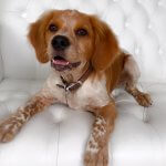 Brittany Spaniel grooming at pooch Dog Spa