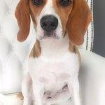 Beagle grooming at pooch Dog Spa