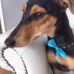 Daschund grooming at pooch Dog Spa