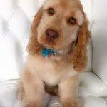 Cavapoo grooming at pooch Dog Spa