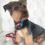 Yorkie grooming at pooch Dog Spa