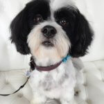 Lhasa Apso grooming at pooch Dog Spa